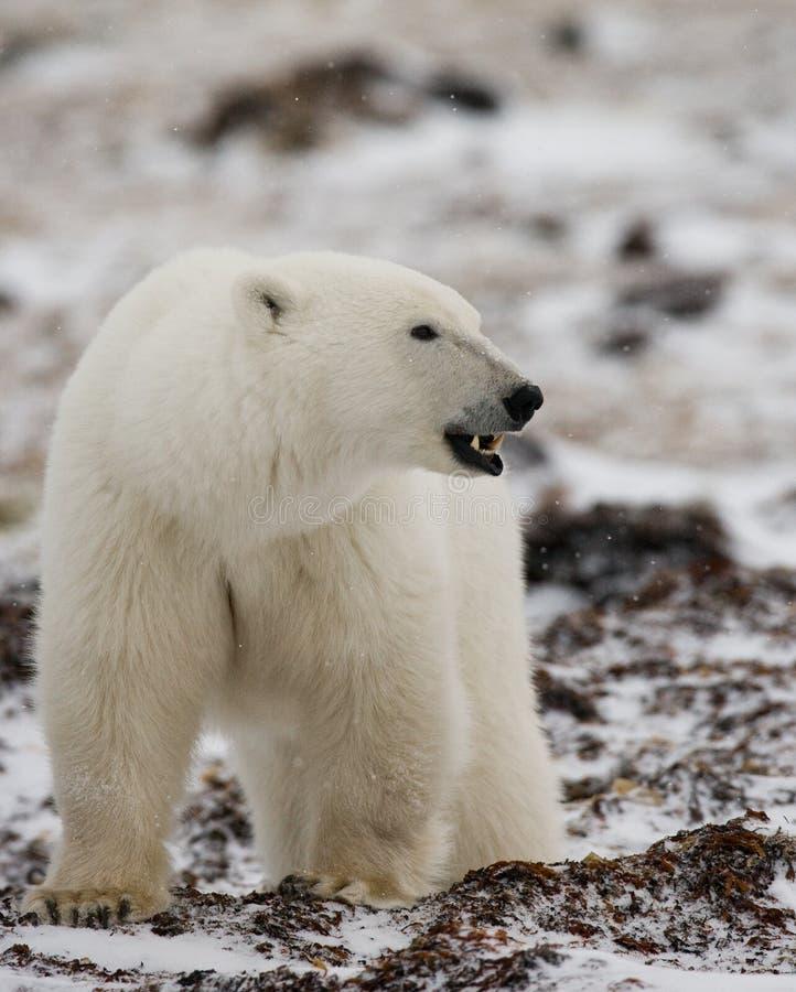 Полярный медведь на тундре снежок Канада стоковое фото