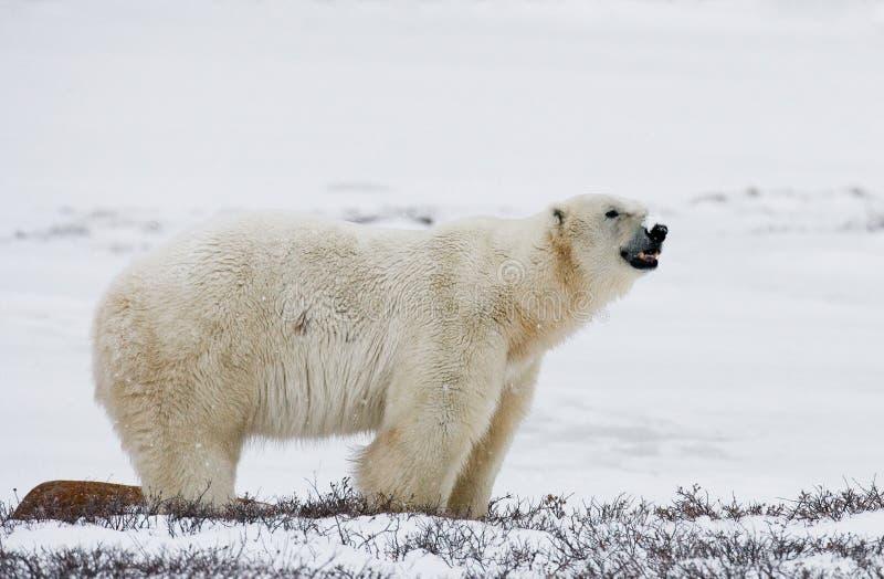 Полярный медведь на тундре снежок Канада стоковые изображения