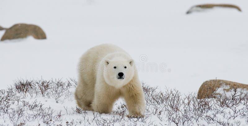 Полярный медведь на тундре снежок Канада стоковая фотография