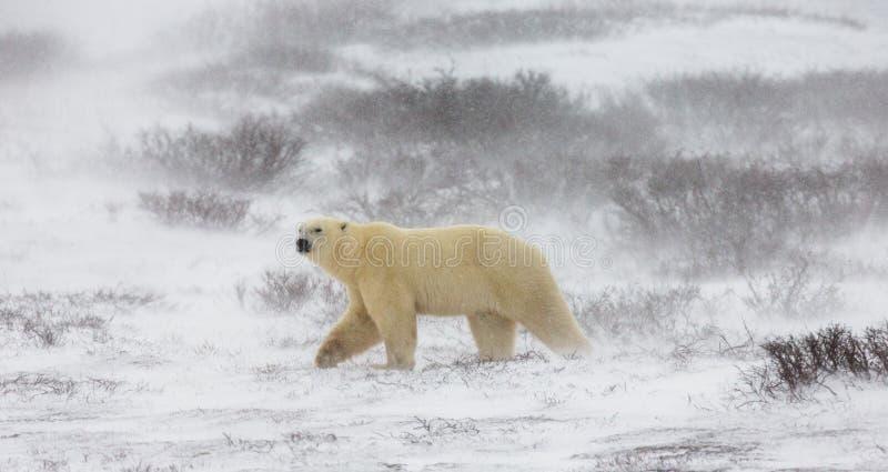 Полярный медведь на тундре снежок Канада стоковое изображение
