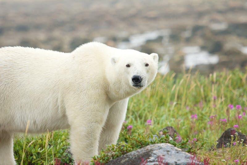 Полярный медведь на лужке стоковая фотография