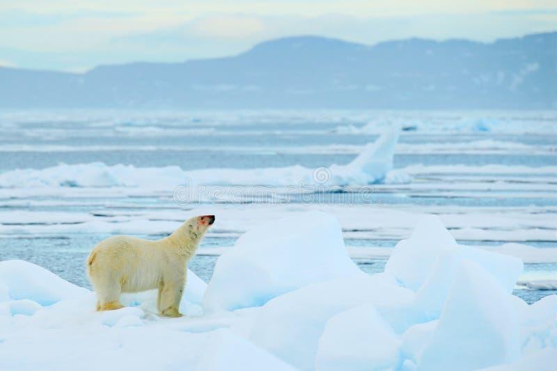 Полярный медведь на льде смещения с снегом, белым животным в среду обитания природы, Свальбардом, Норвегией Идущий полярный медве стоковое фото rf