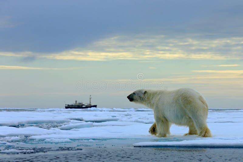 Полярный медведь на льде смещения с снегом, запачканным сосудом круиза в предпосылке, Свальбарде, Норвегии стоковое фото