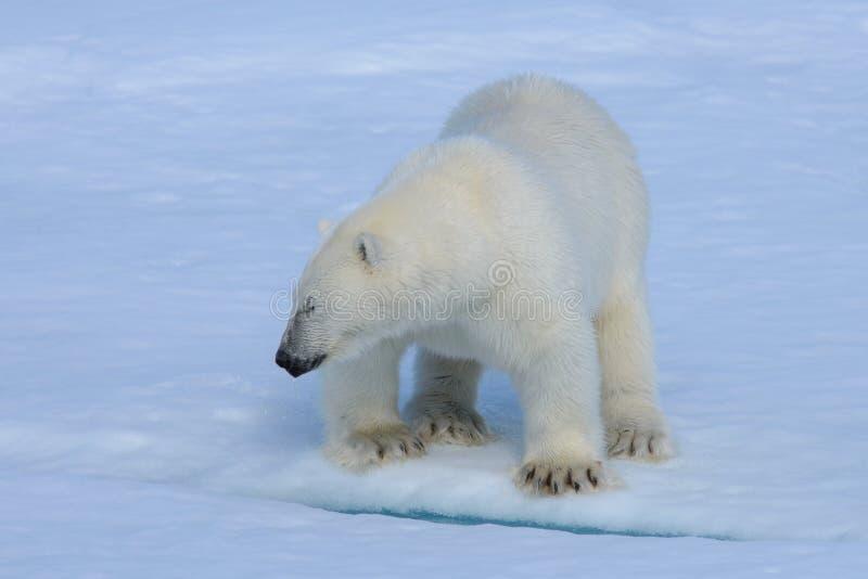 Полярный медведь на льде стоковое фото
