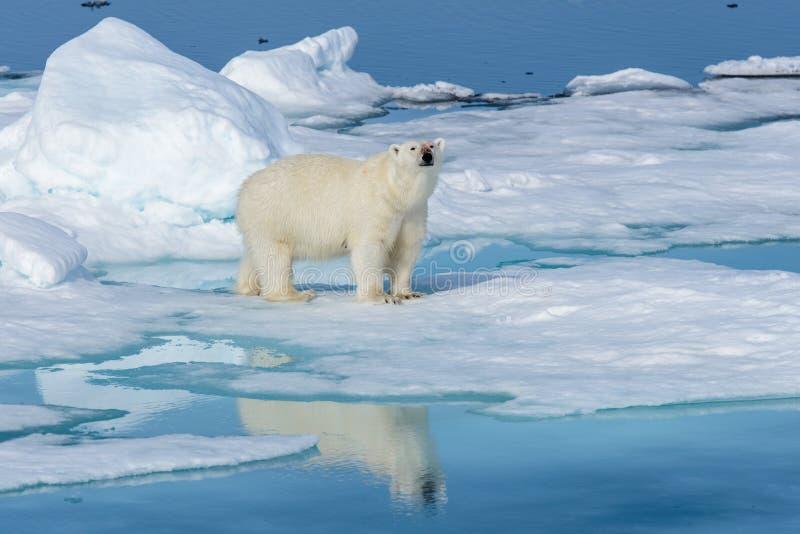 Полярный медведь на льде стоковые фото