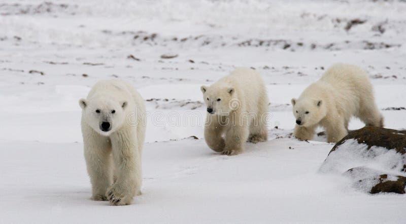 Полярный медведь с новички в тундре Канада стоковые фотографии rf