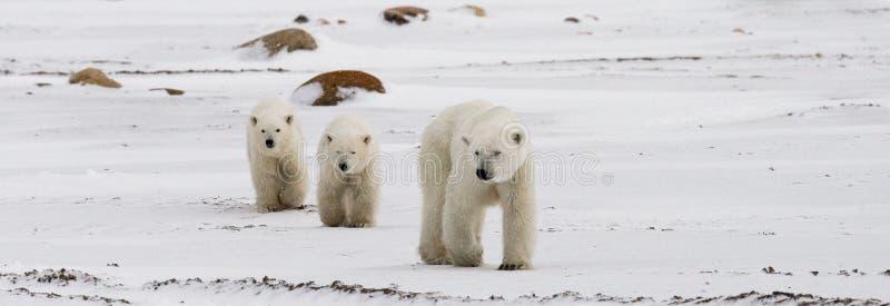 Полярный медведь с новички в тундре Канада стоковое фото