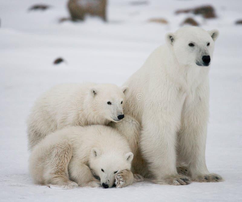Полярный медведь с новички в тундре Канада стоковое изображение rf