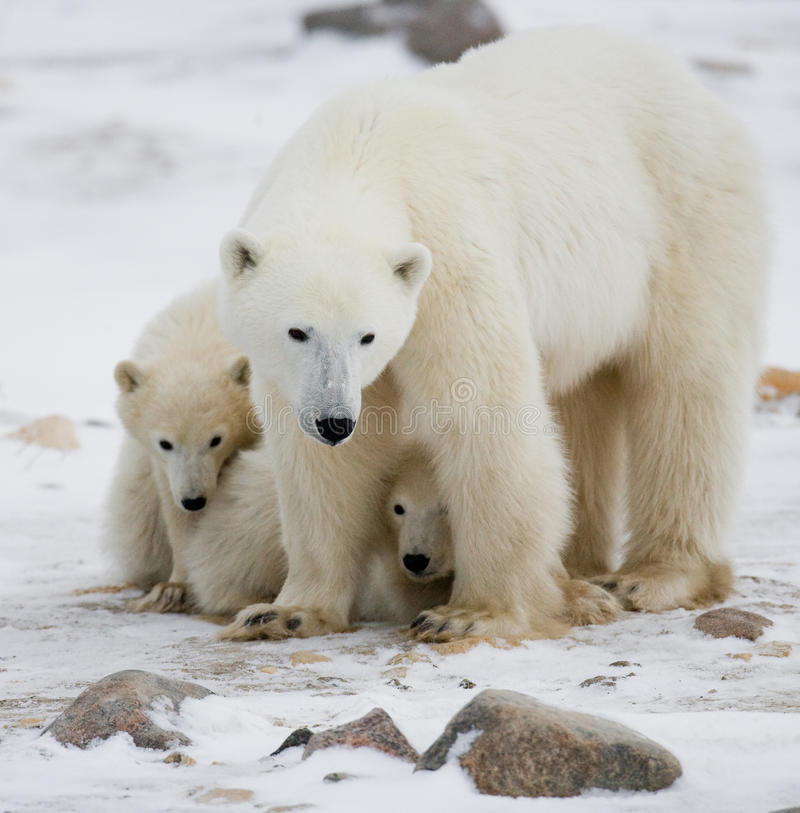 Полярный медведь с новички в тундре Канада стоковые изображения rf