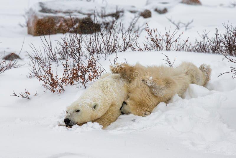 Полярный медведь с новички в тундре Канада стоковые фото