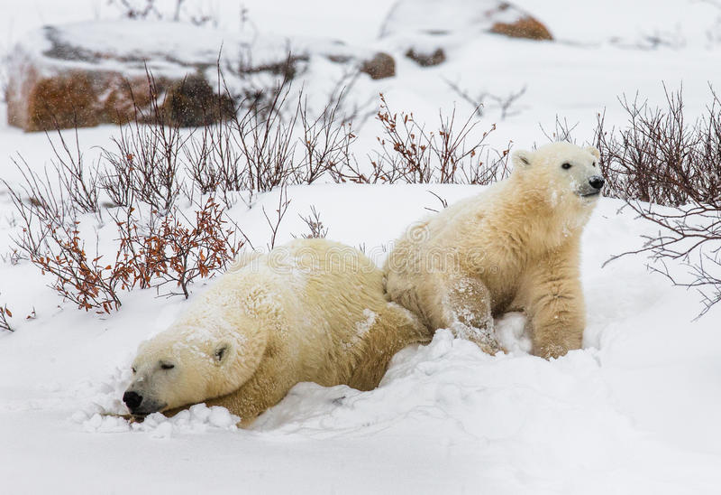Полярный медведь с новички в тундре Канада стоковые изображения