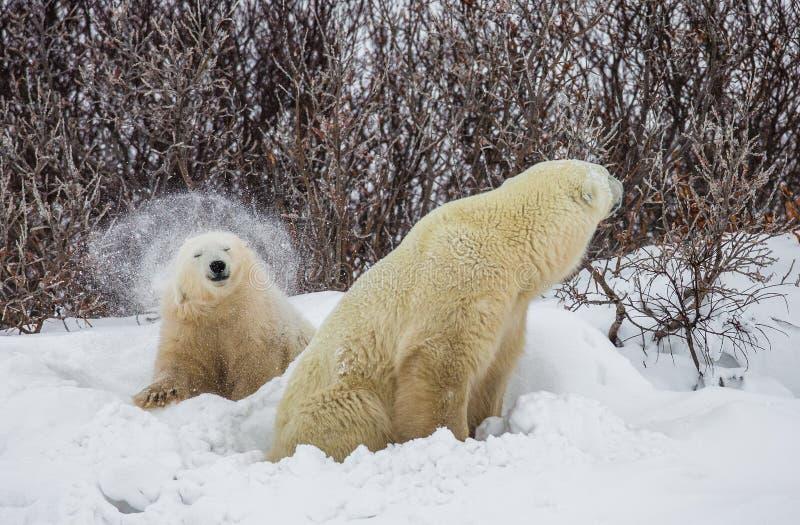 Полярный медведь с новички в тундре Канада стоковая фотография rf