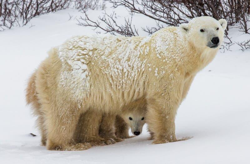 Полярный медведь с новички в тундре Канада стоковое фото rf