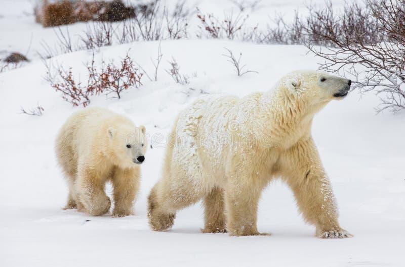 Полярный медведь с новички в тундре Канада стоковая фотография