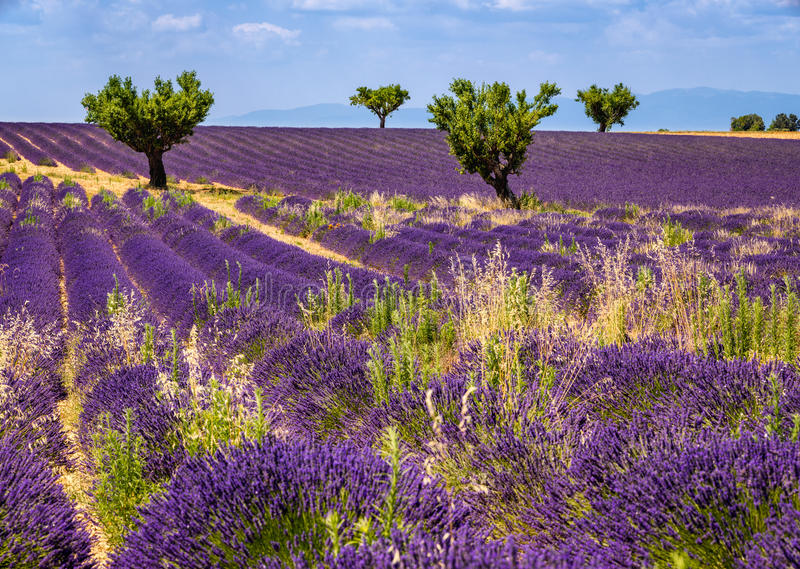 Поля лаванды и оливковые дерева в Valensole, южной Франции стоковое фото rf