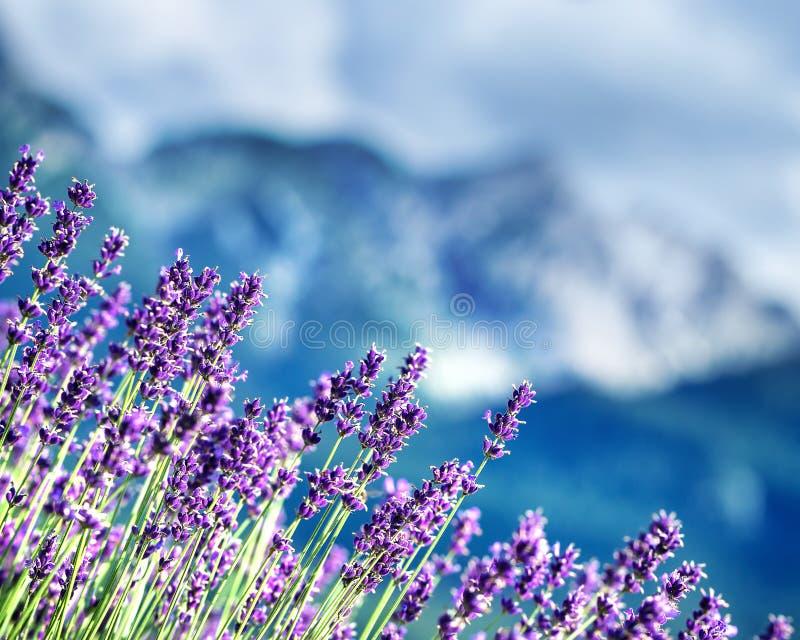 Поля лаванды под французом Альпами стоковое изображение rf