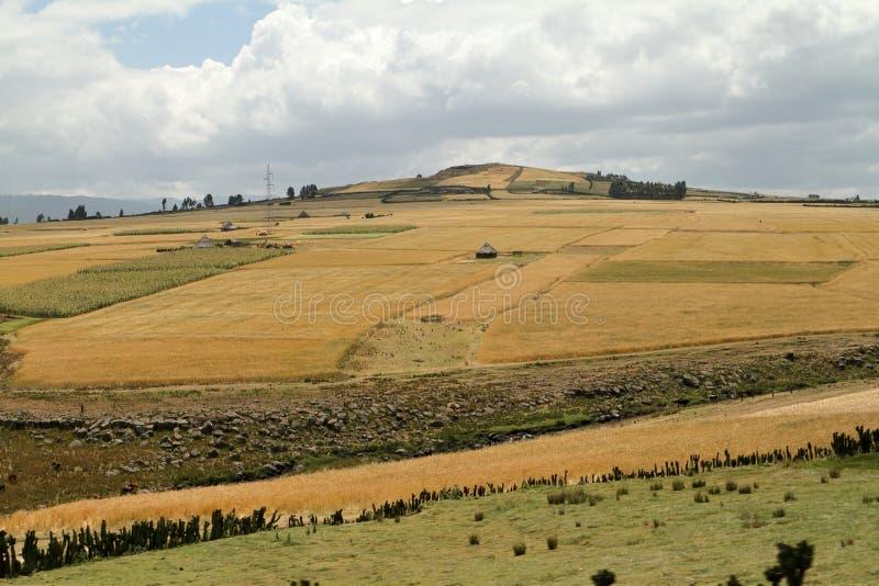 Поля и ландшафты зерна в горах связки Эфиопии стоковые фото