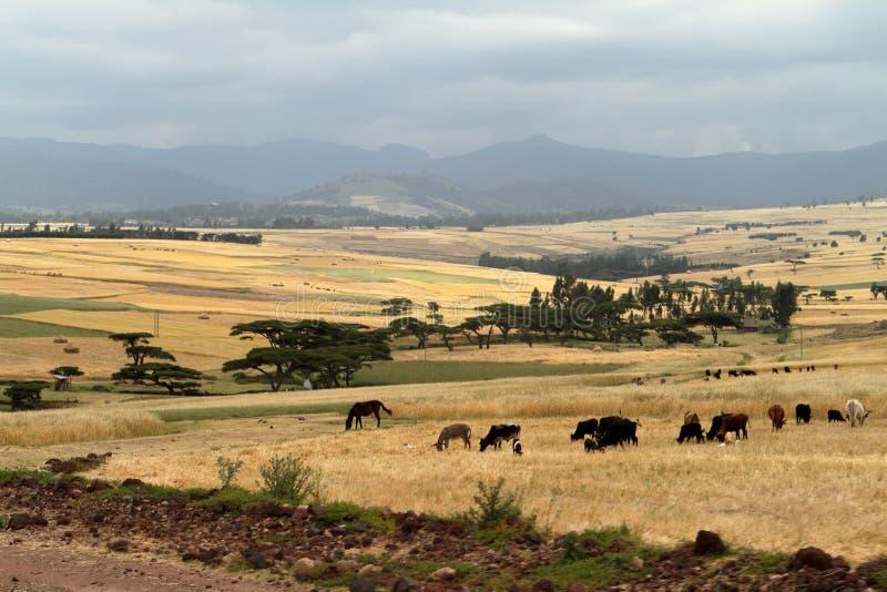 Поля и ландшафты зерна в горах связки Эфиопии стоковое фото rf