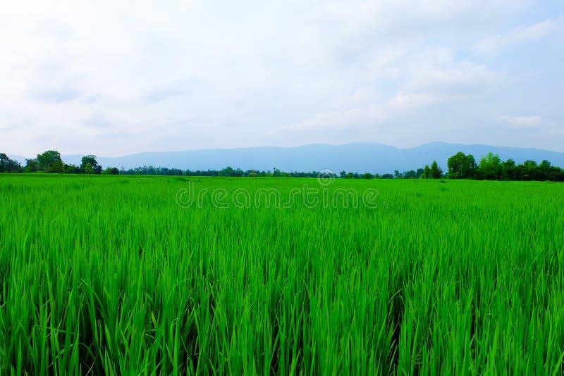 Поля и небо риса стоковая фотография