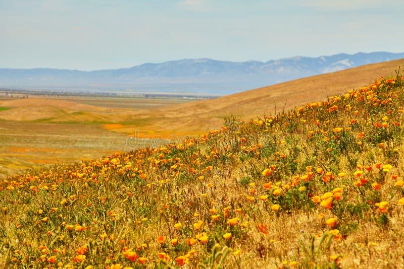 Поля мака Калифорнии во время времени пика зацветая, запаса мака Калифорнии долины антилопы стоковая фотография