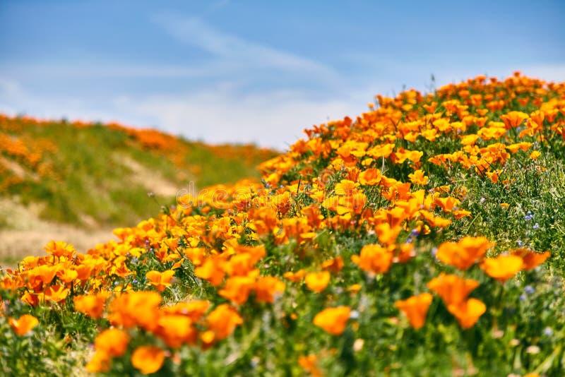 Поля мака Калифорнии во время времени пика зацветая, запаса мака Калифорнии долины антилопы стоковые фото