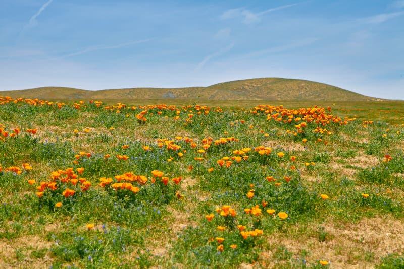Поля мака Калифорнии во время времени пика зацветая, запаса мака Калифорнии долины антилопы стоковое фото rf