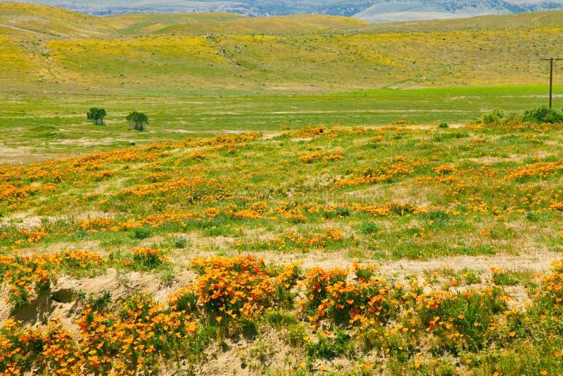 Поля мака Калифорнии во время времени пика зацветая, запаса мака Калифорнии долины антилопы стоковые изображения rf