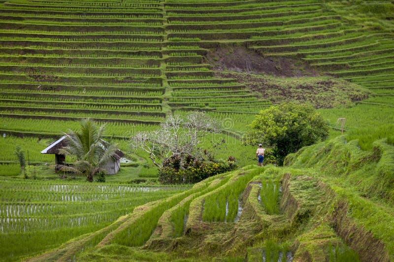Поля риса Бали стоковое изображение