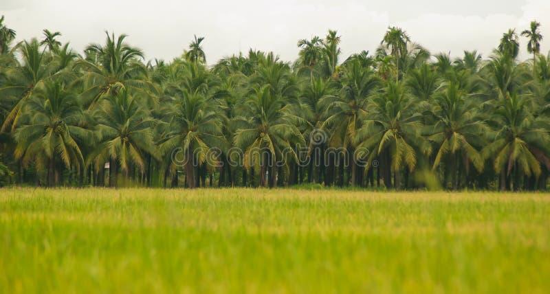 Download Поля риса, кокосовые пальмы Стоковое Изображение - изображение насчитывающей заводы, расти: 33736397