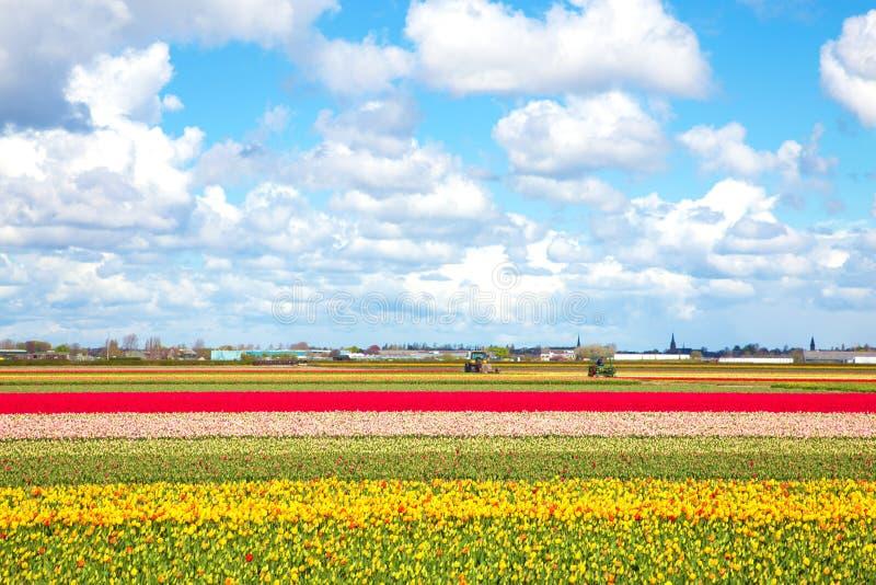 Поля тюльпана и голубое небо, солнечный весенний день стоковые изображения rf