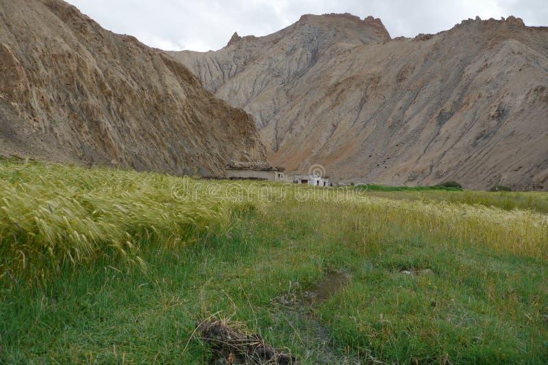 Поля ячменя в высоко-пустыне стоковые изображения rf