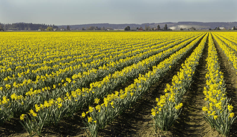 Поля Daffodils двинутых под углом к праву стоковые изображения