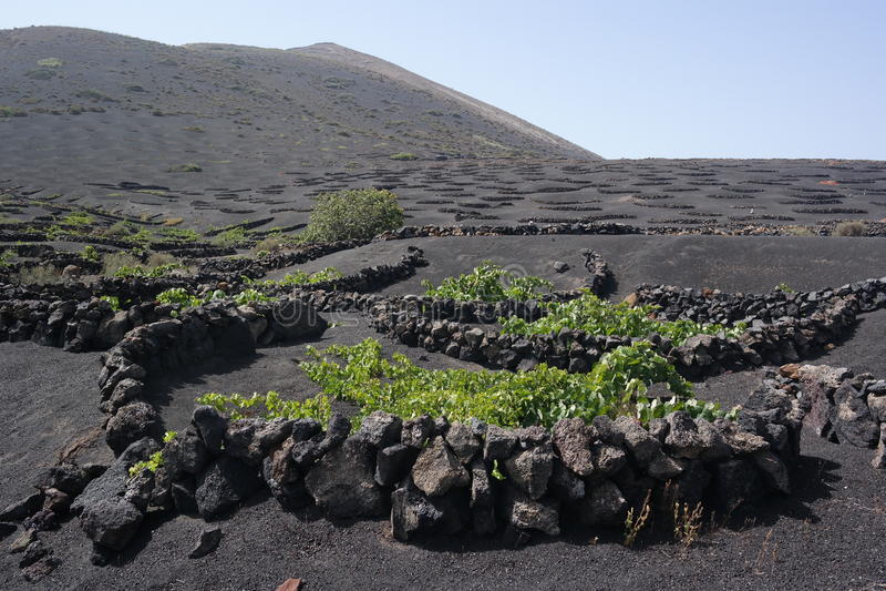 Поля grapewine Yaisa, Лансароте, острова canaria стоковая фотография