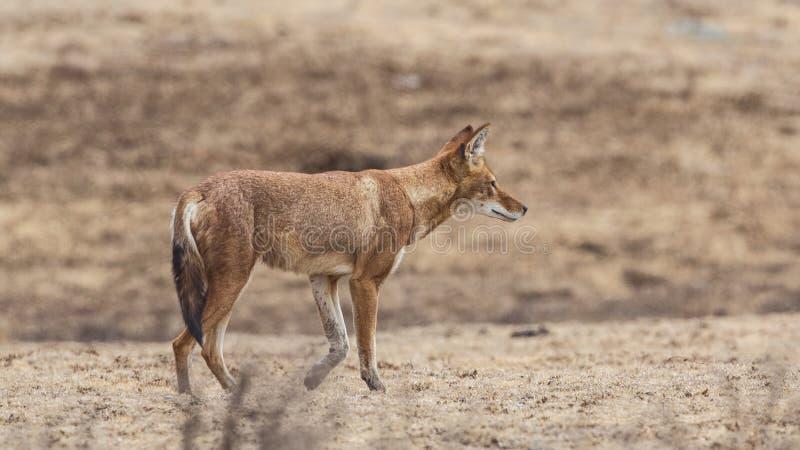 Право эфиопского волка идя стоковые фото