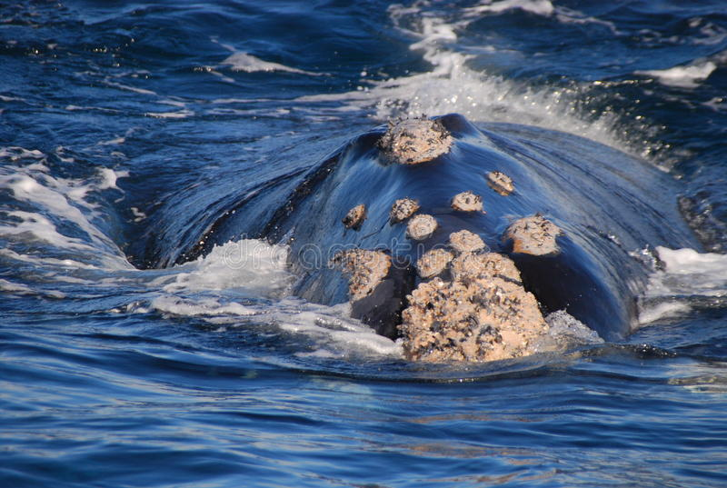 правый южный кит стоковая фотография rf