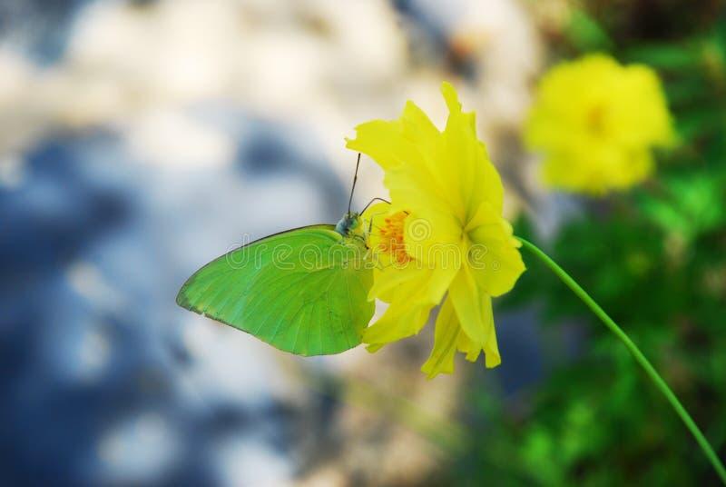 Пребывание бабочки на желтом цветке стоковые изображения