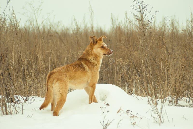 Пребывание желтой собаки на серой предпосылке травы в поле стоковые изображения