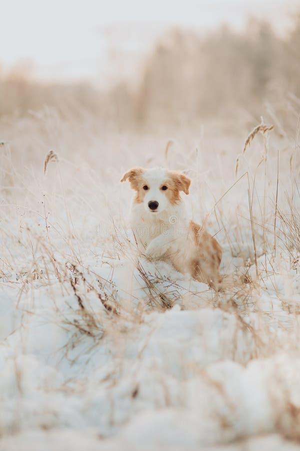 Пребывание Коллиы границы молодого щенка красное в снеге во время захода солнца лес зимы на предпосылке стоковое фото rf