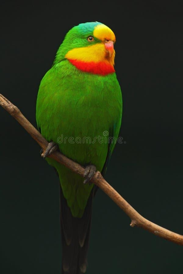 Превосходное swainsonii попугая, Polytelis, зеленый попугай с красной и желтой головой, Австралией стоковое изображение rf