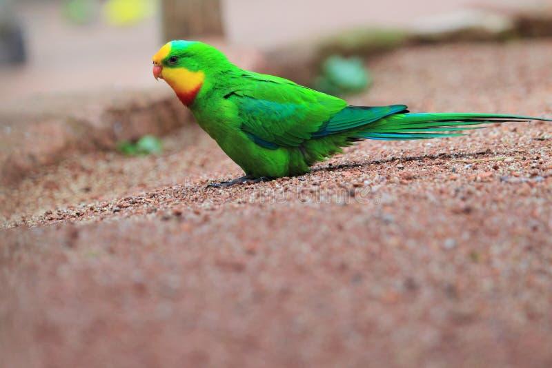 Превосходный попугай стоковые фото