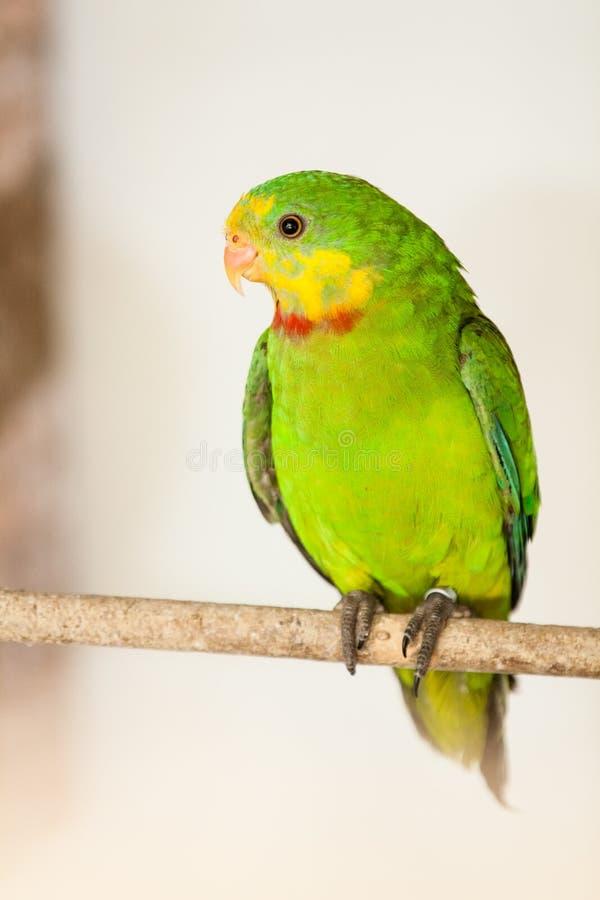 Превосходный попугай (swainsonii Polytelis) стоковые изображения rf