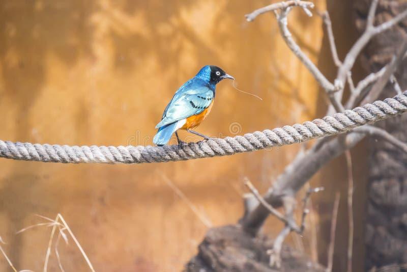 Превосходный starling садился на насест на веревочке, Spreo Superbus стоковая фотография