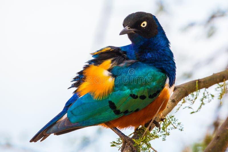 Превосходный Starling стоковое фото