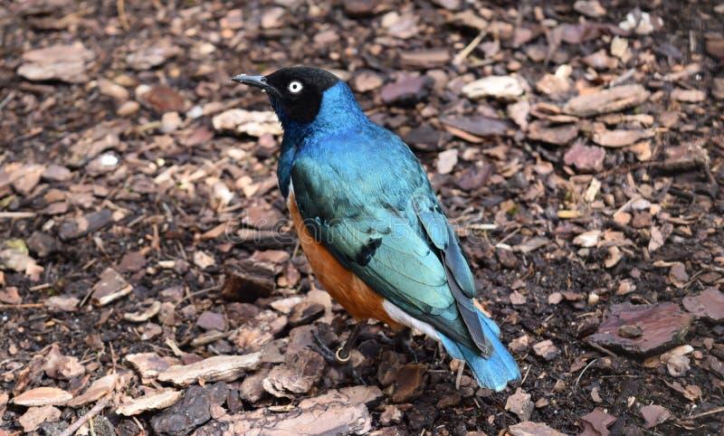 Превосходный Starling стоковое фото rf