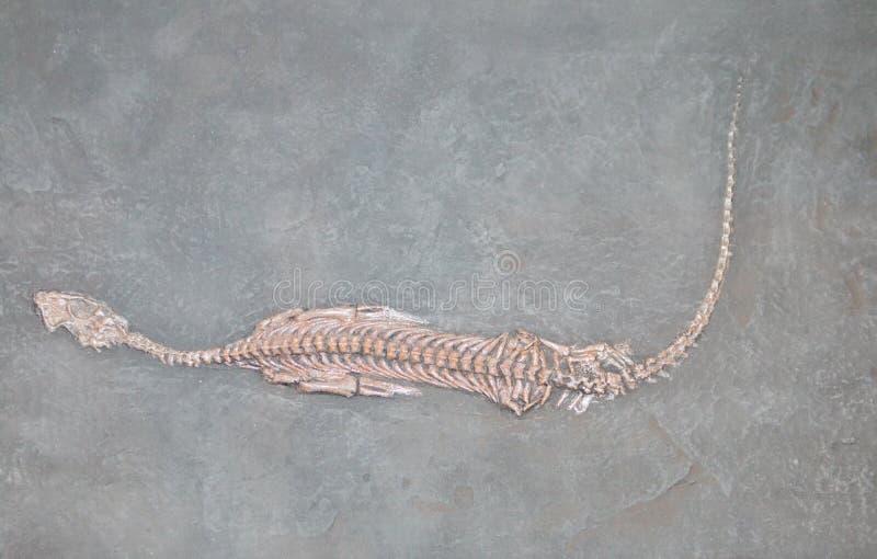 Превращенный в камень череп доисторического животного стоковое фото rf