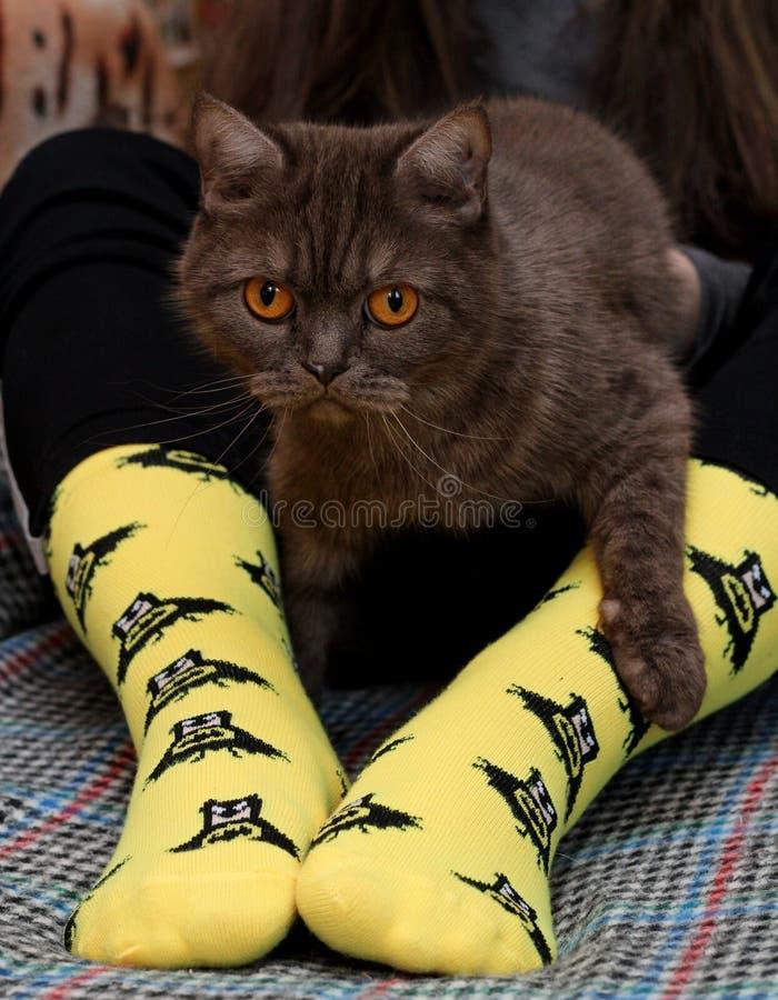 Предназначенная для подростков девушка с грустным шотландским котом на коленях сидя на кресле Желтые носки с черной картиной бэтм стоковая фотография rf