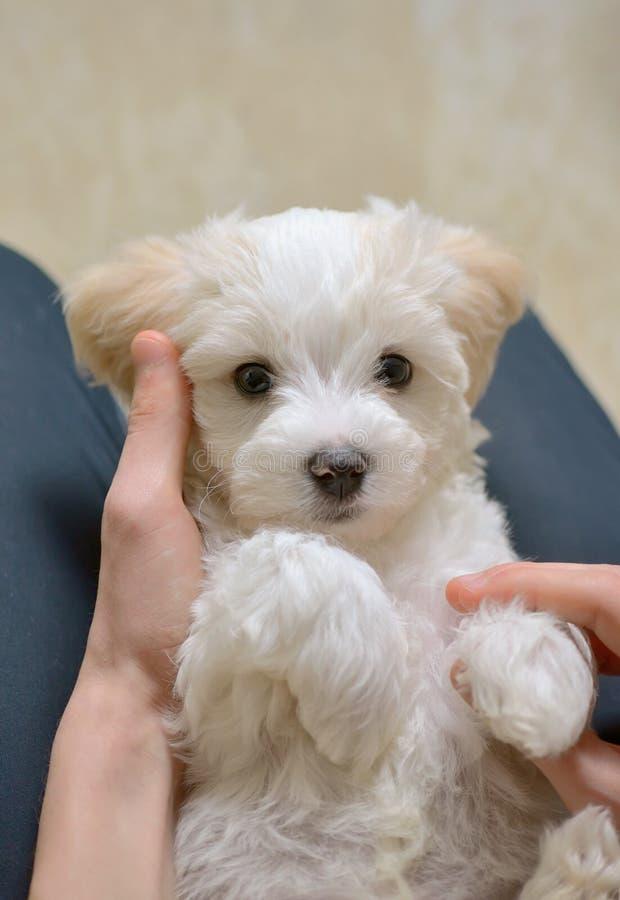 Предназначенный для подростков мальчик с собакой белого щенка мальтийсной стоковое фото