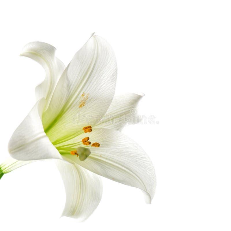 Предпосылка белизны головы цветка лилии стоковое фото