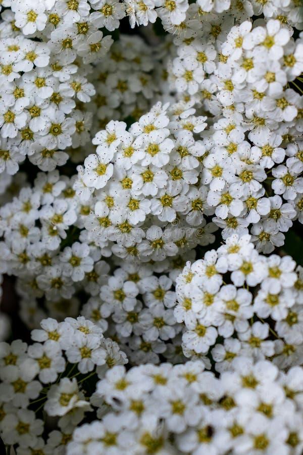 Предпосылка белых цветков стоковые изображения