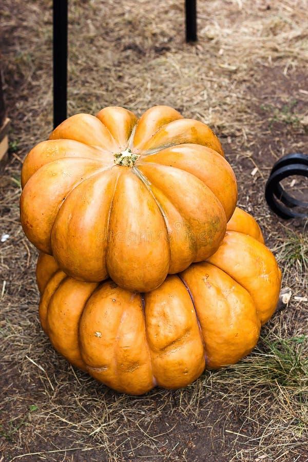 Предпосылка благодарения тыквы осени - оранжевые тыквы на том основании Черенок тыквы Тыквы на сельской предпосылке ландшафта Как стоковое изображение
